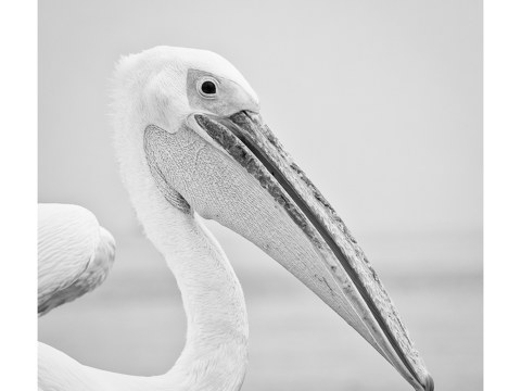 Pelikane in Namibia