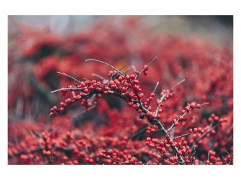 Beerenstrauch im Winter mit roten Beeren