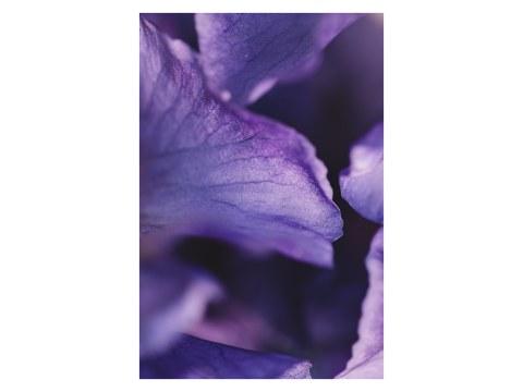 Blütenblaetter der Schwertlilie