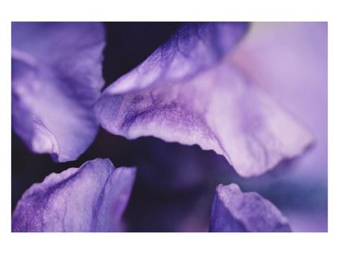 Blütenblaetter einer Schwertlilie