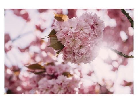 Kirschblueten Sonnenlicht