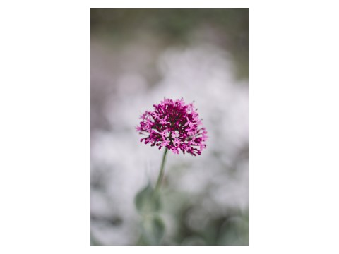 Pinke Spornblume