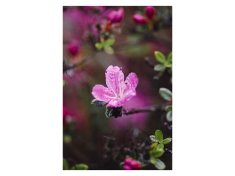 Rosa Bluete der Azalea