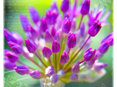 Allium violet