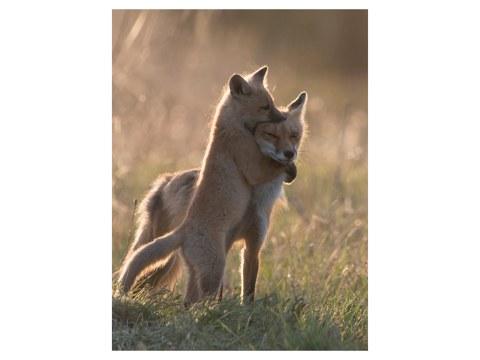 Bild Füchse