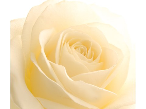 imagen Rose