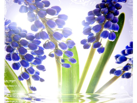 Photos de fleurs bleues
