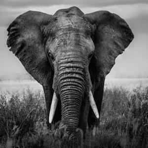 Poster Mit Elefanten Der Zauber Südafrikas