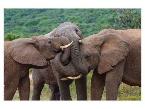 Eléphants s'embrassent