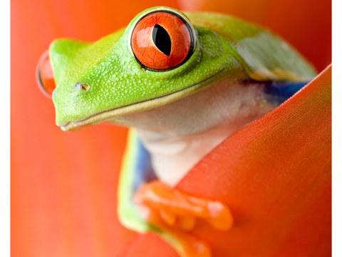 Poster de grenouille