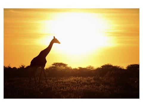 Girafe sous coucher de soleil