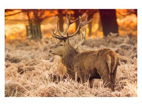 Hirsch bei Sonnenaufgang