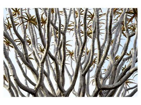 Kokerboom in de Kalahari