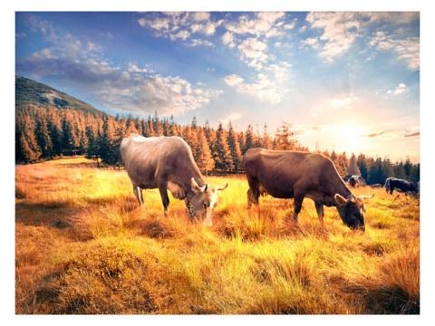 Kühe Bild