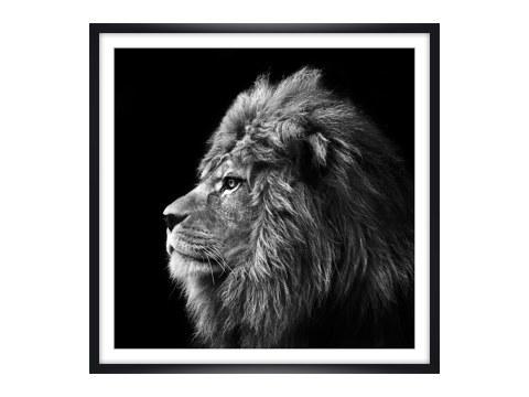 stilvolle lion bilder mit ausdrucksstarken motiven. Black Bedroom Furniture Sets. Home Design Ideas