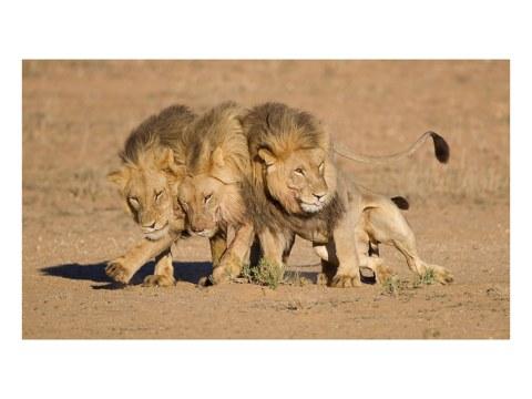 Löwen Bilder