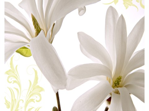Photos de magnolias