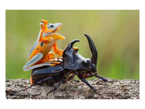 Frosch Käfer Bild