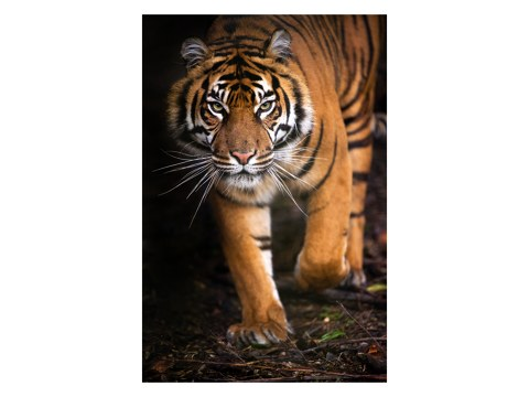 Poster de tigre