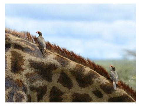 Vogels op een giraf